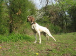 Собака курцхаар в лесу
