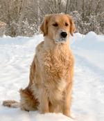 Золотистый ретривер в снегу