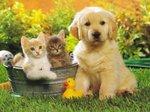 Щенок золотистого ретривера и котята