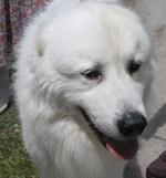 Морда пиренейской горной собаки