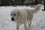 Пиренейская горная собака в снегу