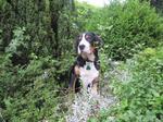 Большой швейцарский зенненхунд в лесу