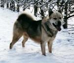 Гренландская собака на снегу