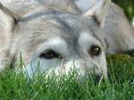 Серо-белый аляскинский маламут