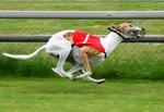 Собака грейхаунд на соревнованиях