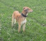 Собака грейхаунд в поле