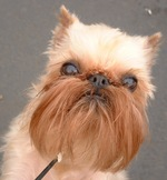 Морда малых бельгийских собак