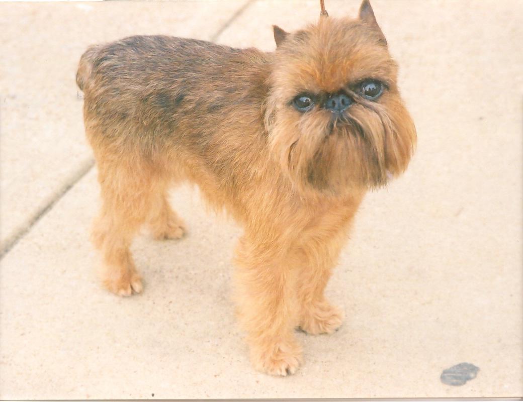Малые бельгийские собаки фото