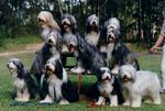 Группа собак бородатый колли