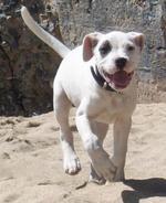 Счастливая кордовская бойцовая собака