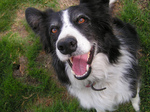 Счастливая камберлендская овчарка