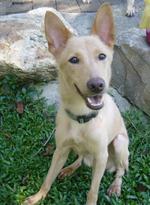 Счастливая тайваньская собака