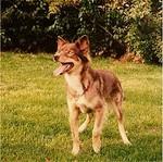 Индийская собака hare на траве