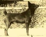 Индийская собака hare