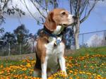 Собака харьер в цветах