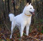 Собака айну в лесу
