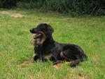 Собака ховаварт на траве