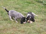 Голубые гасконские гриффоны на охоте