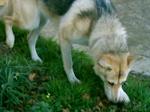 Северный инуит охотится
