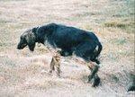 Собака Тайган охотится