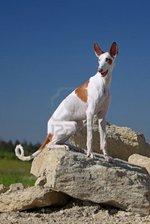 Ивисская собака на горе