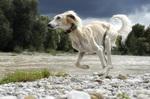 Ивисская собака