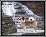 Исландская собака на фоне воды