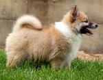 Щенок исландской собаки
