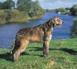 Ирландский волкодав на фоне воды