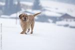 Истрийская жесткошерстная гончая в снегу