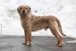 Собака истрийская жесткошерстная гончая