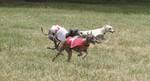 Собака левретка на соревнованиях