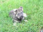Собака емтхунд в траве