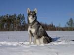 Собака емтхунд в снегу