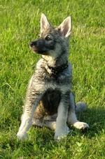 Собака емтхунд на траве