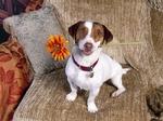 Щенок джек-рассел-терьера с цветком