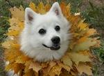 Японский шпиц в листьях