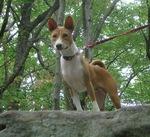 Собака Jonangi на горе