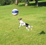 Датско-шведская фермерская собака прыгает
