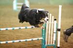 Английская овчарка прыгает