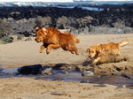 Новошотландские ретриверы прыгают