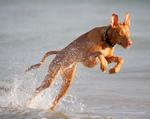 Фараонова собака прыгает