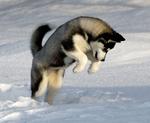 Сибирский хаски прыгает