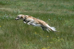 Шелковистый виндхаунд прыгает