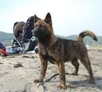 Собака Каи на пляже