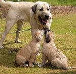 Собака кангал и ее детеныши