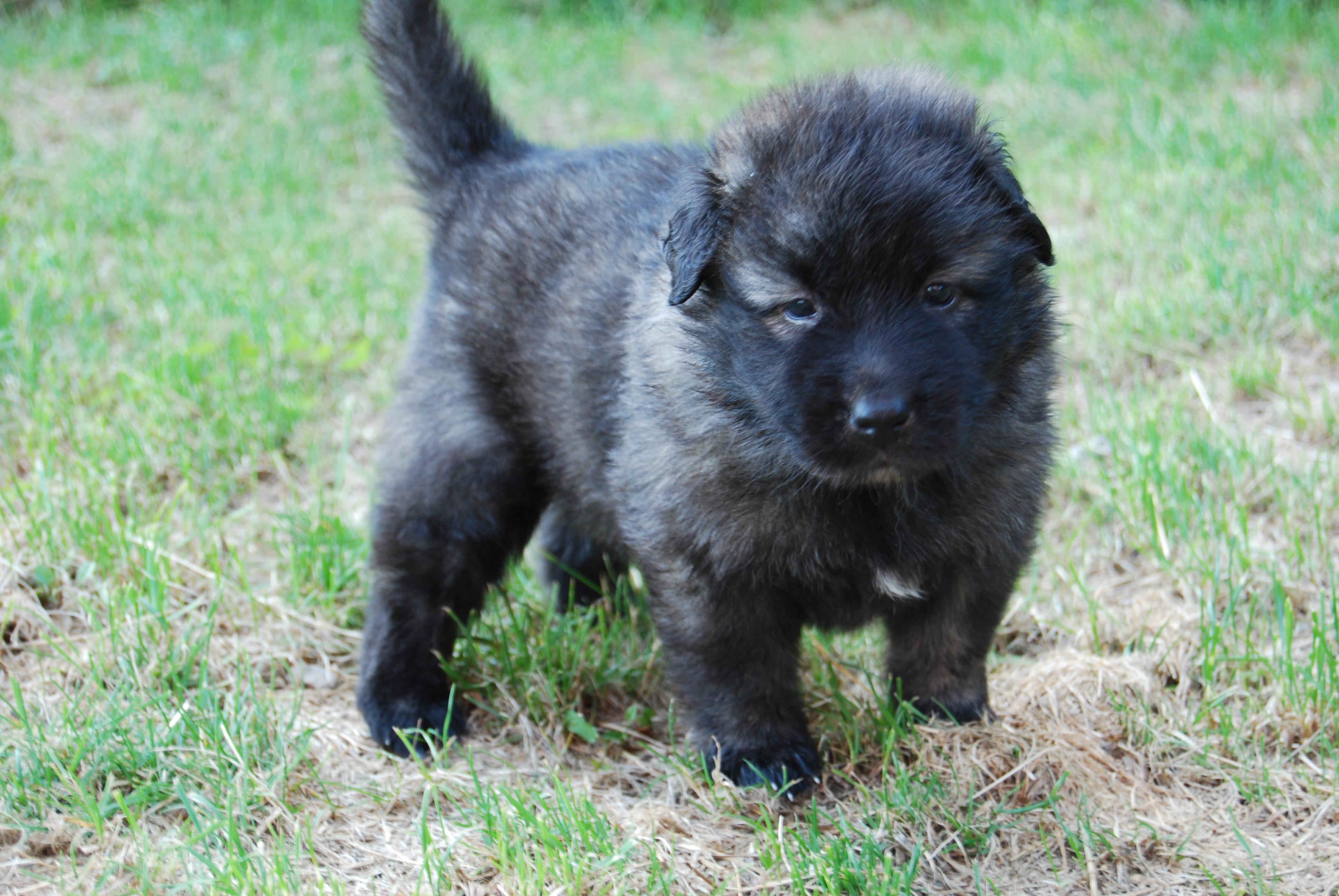 Kunming Dog For Sale