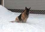 Королевская овчарка в снегу