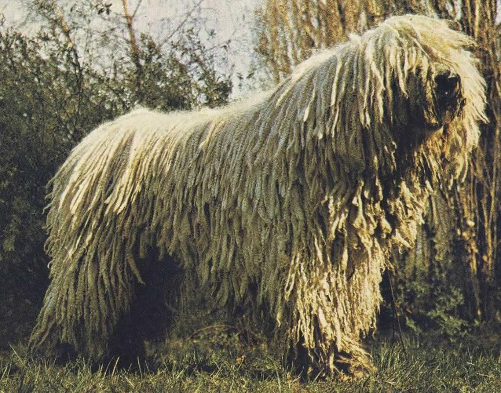 Венгерская выжла собака фото