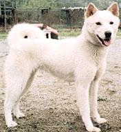 Корейская собака Хиндо фото